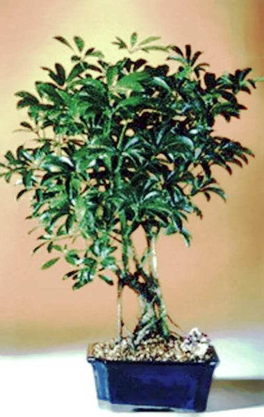 "Hawaiian Umbrella Bonsai Tree (schefflera arboricola ""luseanne"") 8 yr 8"" - 11"" T"