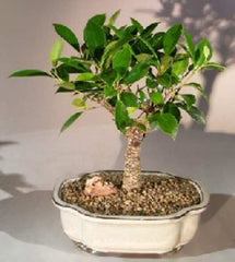 "Ficus Retusa Bonsai Tree ficus retusa 5 yr 10-11"" Tall"