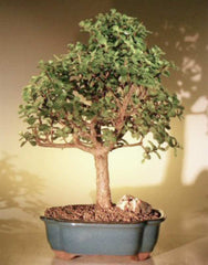 Baby Jade Bonsai Tree Portulacaria Afra X-Lrg Indoor Bonsai 17 yr 14-17""