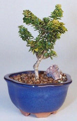 "Japanese Dwarf Pagoda Holly Bonsai Outdoor Ilex Crenata Dwarf ""Pagoda""-- 7 yr 9"" T"
