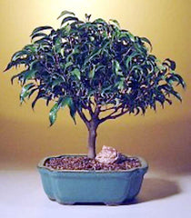 "Ficus 'Midnight' Bonsai Tree (ficus benjamina 'midnight') 6 yr 11-13"" Tall"