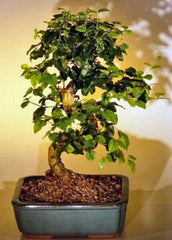 "Flowering Ligustrum Bonsai Tree Curved Trunk Style 9 yrs 10-12"" tall Indoor Bonsai"