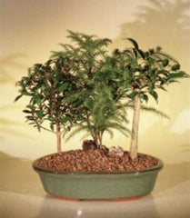 "Dish Garden Mixed Evergreen Bonsai Trees 4 yr 9"" Ficus, Norfolk Pine & Brush Cherry"