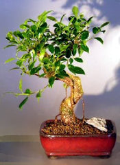 "Ficus Retusa Bonsai Tree Curved Trunk ficus retusa 6 yr 8"" Tall"