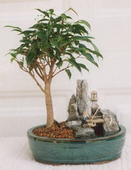 "Ficus Compacta Bonsai Tree in Stone Lanscaped Pot wth Fisherman 6 yr 9-11"" Tall"