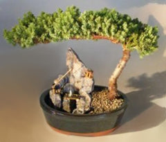 "Juniper Stone Landscape Scene procumbens nana<br>6 years old 11"" tall"