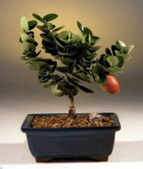 "Dwarf Plum Bonsai Tree <br>Flowering Indoor Bonsai<br>(carissa macrocarpa)<br>4 yr 6-8"" T"