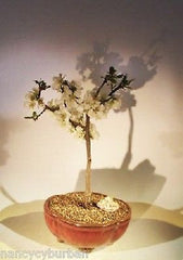 "Japanese Flowering Quince Bonsai Deciduous Outdoor 8 yr 10"" - 12"" T"