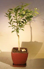 "Tangerine Citrus Bonsai Tree Seedless Indoor Fruiting Bonsai 8 yr old 12"" tall"