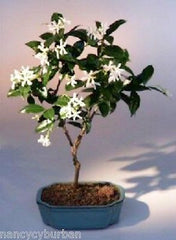 "White Jasmine Bonsai Flowering Indoor Bonsai<br>6yr 12-14"" Tall trachelospermum jasminoides"