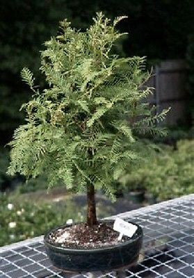 Redwood Bonsai Tree