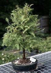 "Dawn Redwood Bonsai <br>8 yr old, 13""-16"" tall (metasequoia glyptostroboides)"