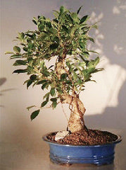 "Ficus Retusa Golden Coin Bonsai Tree Curved Trunk 13 yr 17 - 19""Tall"