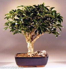 "Hawaiian Umbrella Bonsai Large 15 yrs 14 - 16"" Tall arboricola schefflera 'luseanne"""
