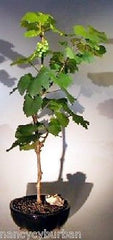 "Wine Grape Bonsai Chardonnay Outdoor Bonasai Tree Deciduous 11 yrs 18"" tall"