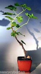 "Wine Grape Pink Reliance Bonsai Grape Outdoor Bonsai Deciduous 11 yr 23-25"" T"