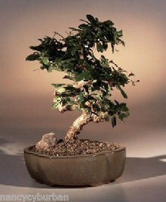 "Flowering Fukien Tea Tree Indoor Bonsai 9 yrs 10"" Tall ehretia microphylla"