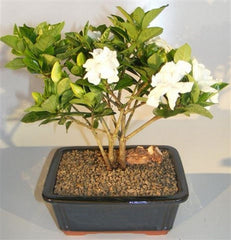 "Gardenia Bonsai Tree Flowering Multi Trunk Style 8 yr approx 14"" T"