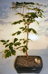 "Paperbark Maple Bonsai Tree (acer griseum) Outdoor Deciduous<br>14 yrs 20"" T"