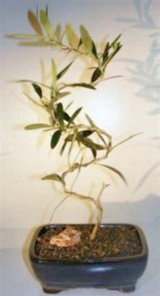 "Arbequina Oive Bonsai Tree ""S"" Trunk Style <br>olea europaea 'arbequina' <br>11 yrs old, 18"" Tall"