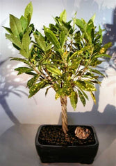 Croton Gold Dust Bonsai Indoor Braided Twist Trunk codiaeum variegatum <br>12 yr 20""