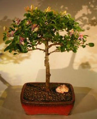 "Lavender Star Flower Indoor Flowering Bonsai Tree 8 years old, 13-15"" T Free Tray & Pebbles!!"