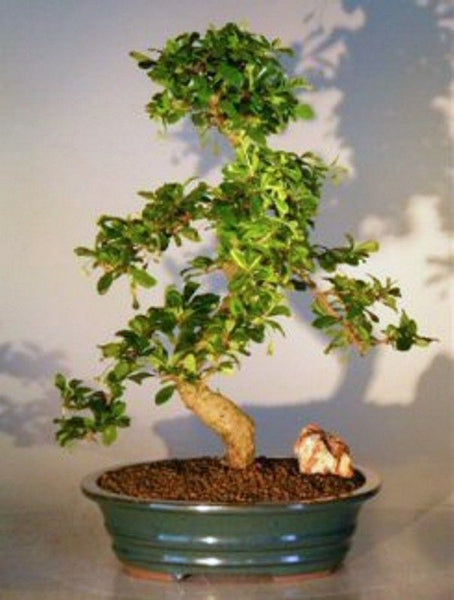 "Fukien Tea Tree Bonsai, Cloud Layer Style with Curved Trunk, 26 yrs old 18"" Tall"
