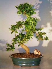 "Fukien Tea Tree <br>Flowering Indoor Bonsai<br>ehretia microphylla<br>26 yr 18"" Tall"
