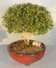 "Chinese White Serissa Bonsai Tree<br>Indoor Flowering <br>11 yrs old, 13"" - 14"" tall."