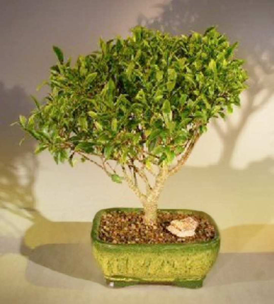 "Ficus Retusa Bonsai Tree (Melon Seed) <br>Medium 7 yr 14"" Tall"