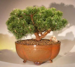 "Mugo Pine Bonsai Tree (pinus mugo 'valley cushion') <br>Outdoor 11 yr 9"" - 11""T"
