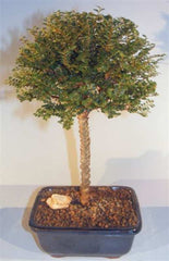 "Chinese Seiju Elm Bonsai Tree Deciduous Outdoor Bonsai 9 yr 13"" - 15"" tall"