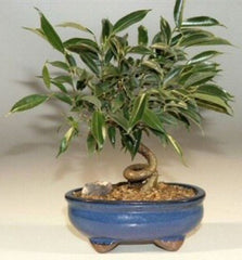 "Bonsai Oriental Ficus Coiled Trunk Bonsai Tree Small 6 years old 8""-10"" T"