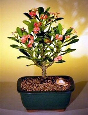 "Crown of Thorns Bonsai Tree  Red / Salmon Flowering Indoor Bonsai 5 yr 10"" Tall"