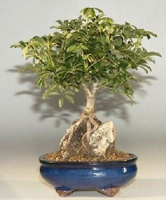 "Hawaiian Umbrella Root Over Rock Style Bonsai Indoor 8 yr -17""-19"" tall"