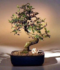 "Chinese Elm Bonsai Tree <br>Ulmus Parvifolia<br>Indoor Bonsai<br>7 yrs old 8"" Tall"