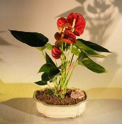 Bonsai Red Anthurium (anthurium andraeanum) Indoor 4 yr Free Tray
