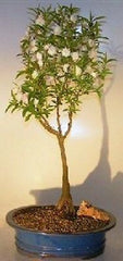 "Pink Almond Bonsai Tree Decideous Flowering Outdoor Bonsai 8 yr 17"" - 19"" Tall"