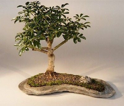 "Hawaiian Umbrella Bonsai Tree on a Rock Slab - 8 years old, 9""-11"" tall"