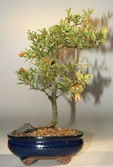"Pomegranate Bonsai Tree Flowering Indoor or Outdoor Bonsai 5 yr 10"" tall"