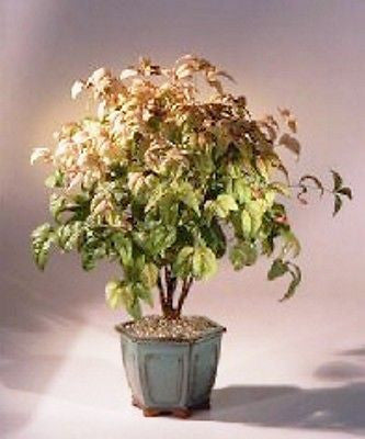 "Heavenly Bamboo Bonsai Indoor Flowering Bonsai Eight years, 16"" to 19"" Tall"