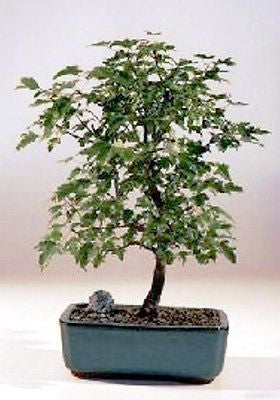 "Trident Maple Bonsai Tree Outdoor Bonsai 6 years old 10"" - 12"" tall"