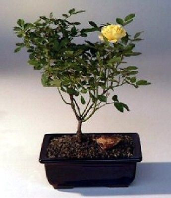 chinese elm bonsai care instructions