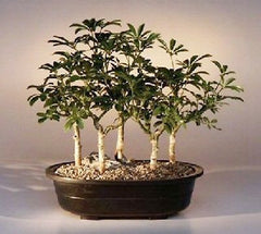 "Hawaiian Umbrella Bonsai Five Tree Froest Group - 15"" Tall 5 & 8 yr Old Trees Indoor Bonsai"