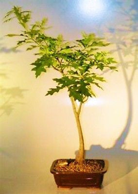 Pin Oak Bonsai Tree