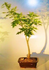 "Pin Oak  Bonsai Tree  quercus palustris Outdoor deciduous Bonsai 11 yrs 21"" tall"