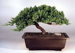 "Juniper Windswept Bonsai Tree 16 yr old 10 - 12"" Tall Juniper procumbens nana"