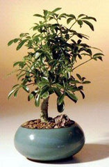 "Hawaiian Umbrella Bonsai Small Indoor - 3 years old, 6""- 8"" Tall"