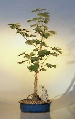 Wine Grape Bonsai, cabernet sauvignon