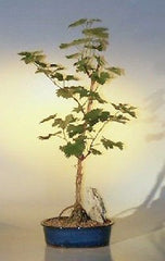 "Wine Grape Bonsai Outdoor Bonsai Deciduous cabernet sauvignon - 11 yrs 20"" tall"